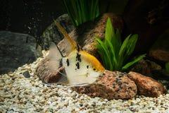 Ψάρια Angelfish στο ενυδρείο με τις πράσινες εγκαταστάσεις, και πέτρες Στοκ Εικόνες