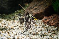 Ψάρια Angelfish στο ενυδρείο με τις πράσινες εγκαταστάσεις, και πέτρες Στοκ εικόνες με δικαίωμα ελεύθερης χρήσης