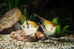 Ψάρια Angelfish στο ενυδρείο με τις πράσινες εγκαταστάσεις, και πέτρες Στοκ Εικόνα