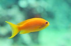 ψάρια anthias Στοκ φωτογραφίες με δικαίωμα ελεύθερης χρήσης
