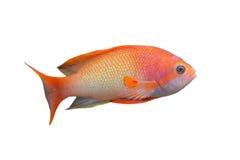 ψάρια anthias Στοκ Εικόνα