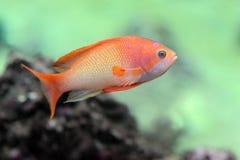 ψάρια anthias Στοκ Εικόνες