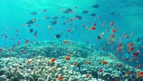 Ψάρια Anthias φιλμ μικρού μήκους
