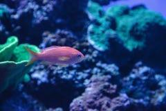 Ψάρια Anthias Lyretail γνωστά ως squamipinnis Pseudanthias Στοκ φωτογραφίες με δικαίωμα ελεύθερης χρήσης