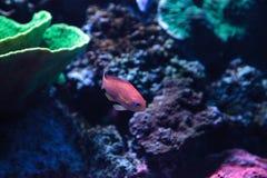 Ψάρια Anthias Lyretail γνωστά ως squamipinnis Pseudanthias Στοκ εικόνα με δικαίωμα ελεύθερης χρήσης
