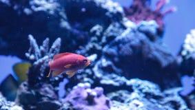 Ψάρια Anthias Lyretail γνωστά ως squamipinnis Pseudanthias Στοκ Φωτογραφία