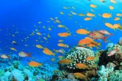 ψάρια anthias lyretail Στοκ Εικόνα