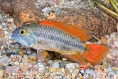 Ψάρια Apistogramma ενυδρείων cacatuoides σε ένα ενυδρείο Στοκ Φωτογραφία