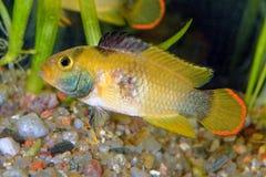 Ψάρια Apistogramma Στοκ Εικόνες