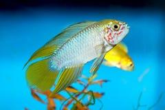 Ψάρια Apistogramma Στοκ εικόνες με δικαίωμα ελεύθερης χρήσης