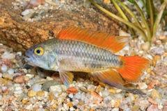 Ψάρια Apistogramma cacatuoides σε ένα ενυδρείο Στοκ εικόνα με δικαίωμα ελεύθερης χρήσης
