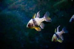 Ψάρια Apogon στο ενυδρείο Στοκ Φωτογραφίες