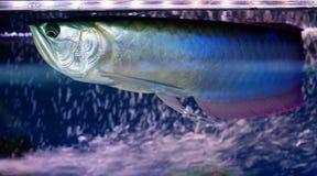 Ψάρια Aravana Στοκ Εικόνα