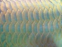 Ψάρια Arowana για τις πράξεις τύχης Στοκ Εικόνα
