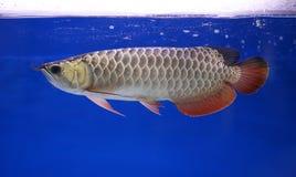 Ψάρια Arowana, κατοικίδιο ζώο Στοκ Φωτογραφίες