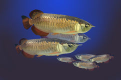Ψάρια arowana της Ασίας Στοκ Φωτογραφίες