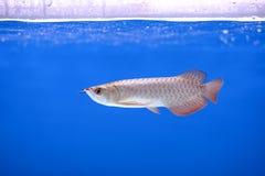 Ψάρια Arowana Στοκ Φωτογραφίες
