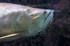 Ψάρια Arowana Στοκ εικόνα με δικαίωμα ελεύθερης χρήσης