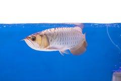 Ψάρια Arowena στο ενυδρείο Στοκ Εικόνες