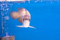 Ψάρια Arowena Στοκ Εικόνες