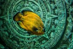 Ψάρια Astronotus Στοκ Εικόνες