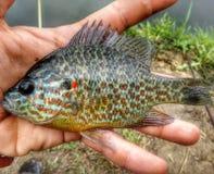Ψάρια Beautifle Στοκ Εικόνες