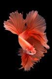 Ψάρια betta ημισελήνου στοκ φωτογραφίες