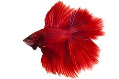 Ψάρια Betta στοκ εικόνα