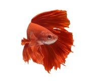 Ψάρια Betta στοκ φωτογραφία