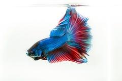 Ψάρια Betta Στοκ φωτογραφίες με δικαίωμα ελεύθερης χρήσης