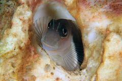 Ψάρια Blenny Στοκ Εικόνες