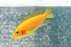 Ψάρια Cichlid Στοκ εικόνες με δικαίωμα ελεύθερης χρήσης