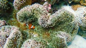 Ψάρια Clownfish με το anemone θάλασσας κάτω από τη θάλασσα Στοκ εικόνα με δικαίωμα ελεύθερης χρήσης