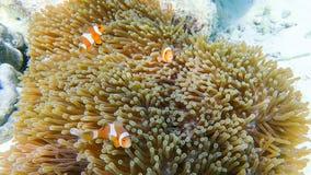 Ψάρια Clownfish με το anemone θάλασσας κάτω από τη θάλασσα Στοκ Εικόνες
