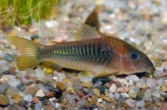 Ψάρια Corydoras Στοκ Φωτογραφίες