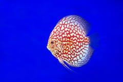 Ψάρια Discus, δέρμα φιδιών Στοκ Εικόνες