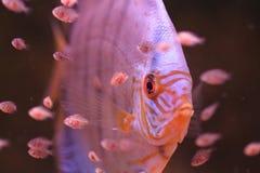 ψάρια discus μωρών Στοκ εικόνες με δικαίωμα ελεύθερης χρήσης