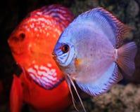 ψάρια discus Στοκ εικόνα με δικαίωμα ελεύθερης χρήσης
