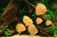 ψάρια discus στοκ εικόνα