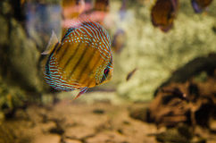 Ψάρια Discus Στοκ Φωτογραφίες