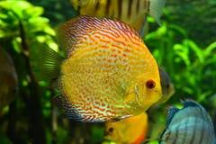 Ψάρια Discus Στοκ Εικόνες