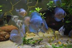 Ψάρια Discus Στοκ εικόνες με δικαίωμα ελεύθερης χρήσης