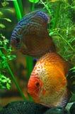 ψάρια diskus Στοκ εικόνες με δικαίωμα ελεύθερης χρήσης
