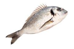 ψάρια dorado φρέσκα Στοκ εικόνες με δικαίωμα ελεύθερης χρήσης