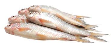 Ψάρια Fresah Στοκ Εικόνα