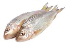 Ψάρια Fresah Στοκ εικόνα με δικαίωμα ελεύθερης χρήσης