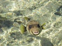 Ψάρια hispidus Arothron Στοκ φωτογραφίες με δικαίωμα ελεύθερης χρήσης