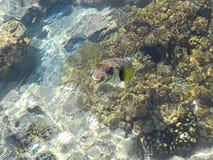 Ψάρια hispidus Arothron Στοκ Φωτογραφίες