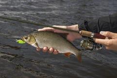 Ψάρια IDE υπό εξέταση του ψαρά με τη ράβδο στοκ εικόνα με δικαίωμα ελεύθερης χρήσης