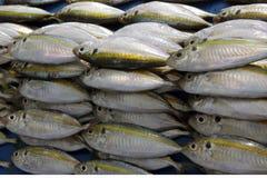 Ομάδα μικρών ψαριών Στοκ Φωτογραφία